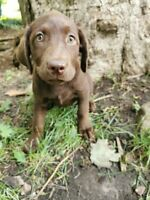Yellow and chocolate Lab Puppies!