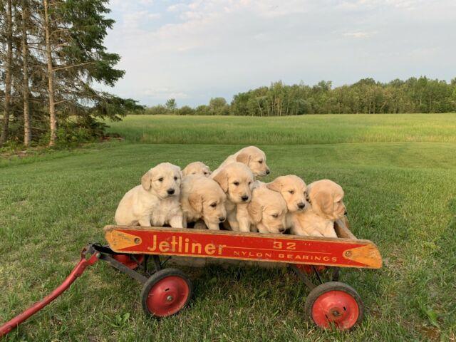 GOLDENDOODLE PUPPIES FORSALE (Newliskeard ON)