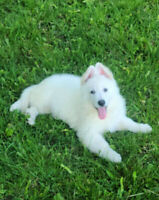 Purebred White Swiss Shepperd puppies. Ready too go now