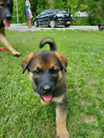 German Shepherd/Lab Puppies for sale