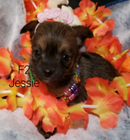 CHORKIE PUPS ready to go ONLY 3 Females Left!!