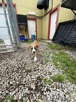 Cane Corso Doggo Puppies