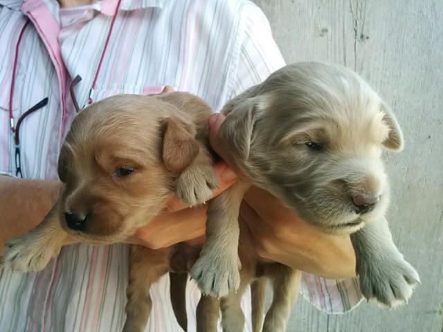 F1 Mini Golden Doodle Puppies ( Miniature Goldendoodle)