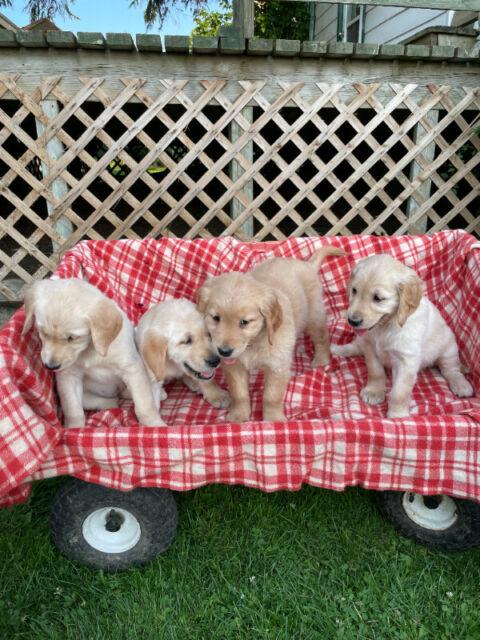 Yellow Labrador Golden Retriever Cross Puppies