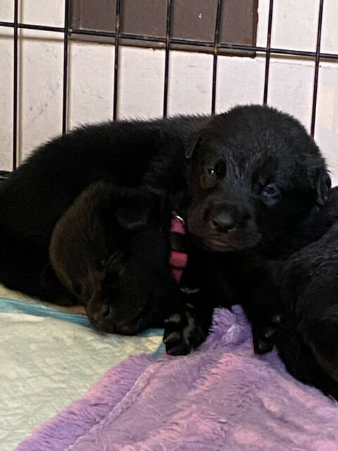 1 female puppy available lab husky mix!