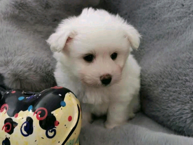 8 weeks old Pomachon ready to leave