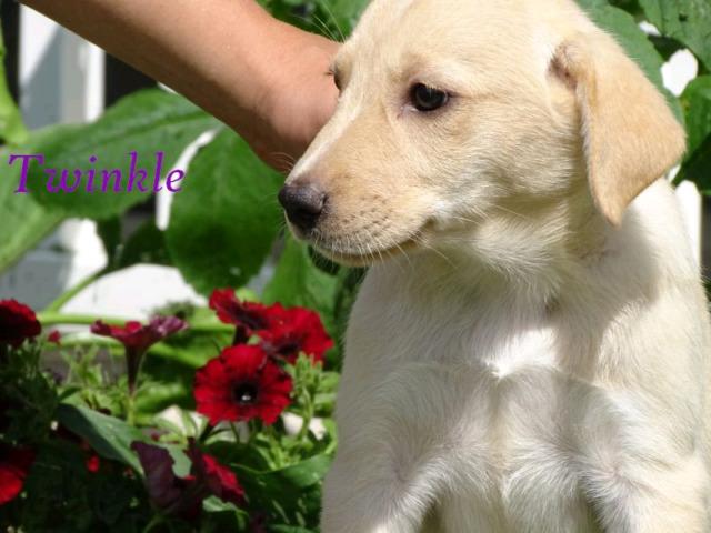 Retriever Mix Puppies