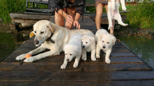 Lab Siberian pups