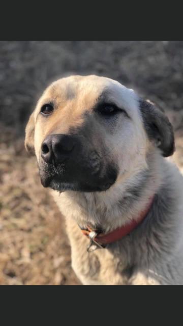 Anatolian Kangal Puppies. Livestock Guardian Dog.
