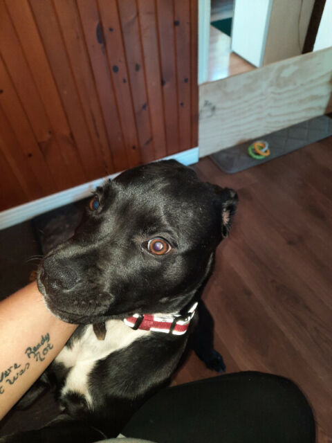 Pure breed pup for rehoming