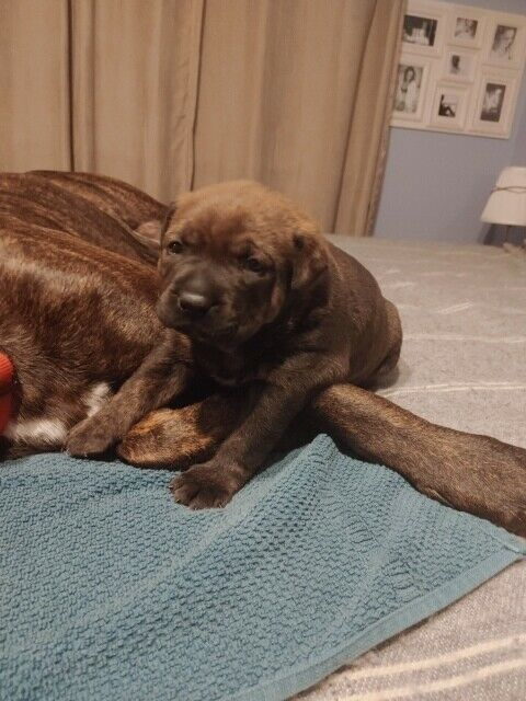 4 week old Doggo ArgentinoRottweiler cross puppies