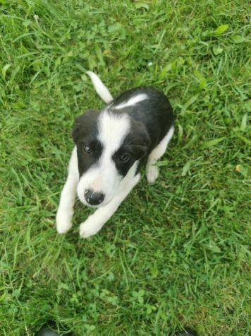 Border Collie Puppies! Available now!