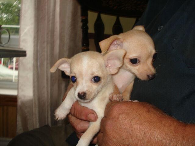 Chihuahua Puppiies