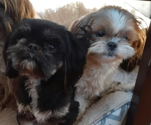 Shih tzu puppy