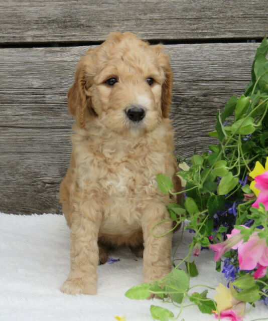 Standard Purebred Poodles - Available!