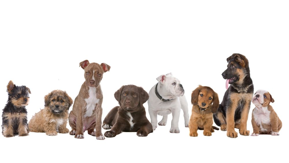 Puppies, Dogs For Sale in Ontario | puppiesforsaleontario com